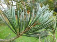 Pinus flexilis   'Firmament'  Limber Pine needle