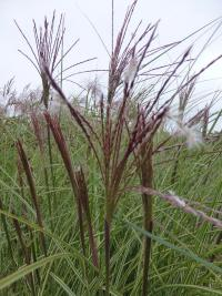 Miscanthus sinensis  'Morning Light'  Chinese Silver Grass flowers