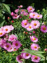 Symphyotrichum novae-angliae 'Rudelsburg'  New England Aster plant