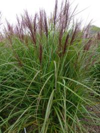 Miscanthus sinensis 'Roter Pfeil'  Chinese Silver Grass plant