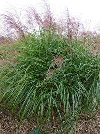 Miscanthus sinensis 'Red Tango'  Chinese Silver Grass plant