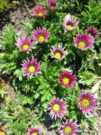 Gazania rigens  'Daybreak Pink' - Treasureflower