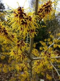 Hamamelis x intermedia        'Barmstedt Gold'  Hybrid Witch Hazel twings