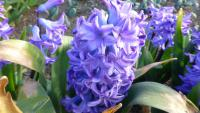 Hyacinthus orientalis   'Minos'  Common Hyacinth flowers