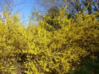 Forsythia x intermedia  'Golden Times'  Border Forsythia plant