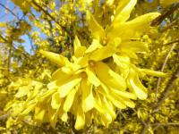 Forsythia x intermedia   'Golden Times'  Border Forsythia flowers