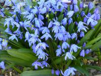 Scilla siberica     'Spring Beauty'  Siberian Squill flowers