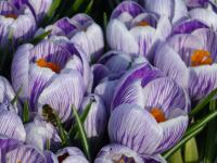 Crocus vernus          'Pickwick'  Spring Crocus flowers