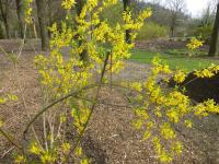 Forsythia x intermedia 'Vitellina'  Border Forsythia plant