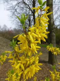 Forsythia x intermedia    'Vitellina'  Border Forsythia flowers
