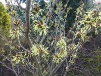 Hamamelis x intermedia 'Angelly'  Hybrid Witch Hazel plant