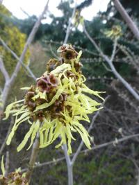 Hamamelis x intermedia  'Angelly'  Hybrid Witch Hazel flowers
