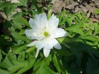 Anemone nemorosa    'Jan'  Wood Anemone flowers