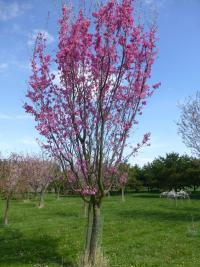 Prunus serrulata  'Captain Collingwood Ingram' - Japanese Cherry