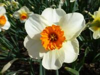 Narcissus   'Barrett Browning'  Daffodil flowers