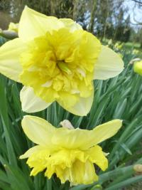 Narcissus    'Full House'  Daffodil flowers