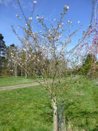 Prunus subhirtella   'Autumnalis Rosea'  Winter-flowering Cherry plant