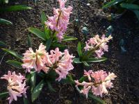 Hyacinthus orientalis  'Gipsy Queen' - Common Hyacinth