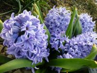 Hyacinthus orientalis  'Blue Giant'  Common Hyacinth plant