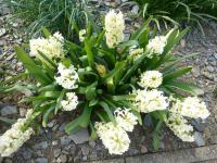 Hyacinthus orientalis  'City of Haarlem' - Common Hyacinth