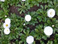 Bellis perennis 'Roggli White'  English Daisy plant