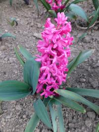 Hyacinthus orientalis   'Jan Bos'  Common Hyacinth plant