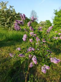 Syringa vulgaris  'Sensation'  Common Lilac plant