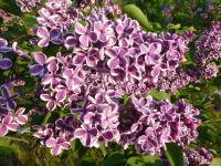 Syringa vulgaris        'Sensation'  Common Lilac flowers