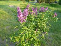 Syringa vulgaris 'Arthur William Paul'  Common Lilac plant
