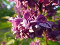 Syringa vulgaris    'Arthur William Paul'  Common Lilac flowers