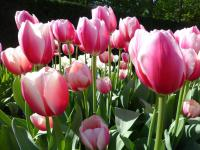 Tulipa      'Russian Princess'  Tulip flowers
