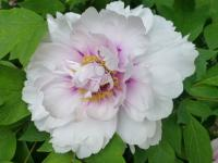 Moutan Peony Paeonia suffruticosa  'Blanche de His'