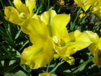 Tulipa     'Yellow Spring Green'  Tulip flowers