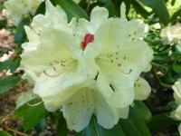 Rhododendron    'Ehrengold'  Rhododendron flowers