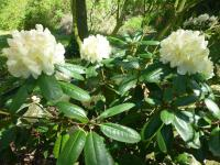 Rhododendron  'Ehrengold'  Rhododendron plant