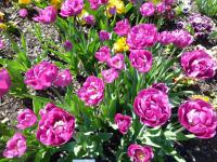 Tulipa 'Backpacker'  Tulip plant