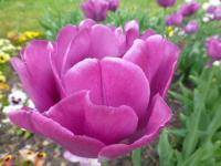 Tulipa      'Backpacker'  Tulip flowers