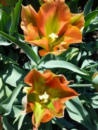Tulipa   'Tricolored Beauty'  Tulip flowers