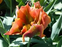 Tulipa  'Tricolored Beauty' - Tulip
