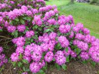 Rhododendron 'Milan'  Rhododendron plant