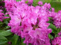 Rhododendron     'Milan'  Rhododendron flowers