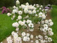Rhododendron 'Mrs J. G. Millais'  Rhododendron plant