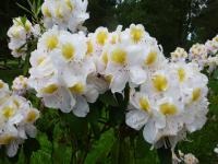 Rhododendron    'Mrs J. G. Millais'  Rhododendron flowers