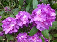 Rhododendron    'Mrs Davies Evans'  Rhododendron flowers