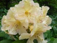 Rhododendron  'Champagne'  Rhododendron flowers