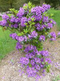 Rhododendron 'Blue Boy'  Rhododendron plant