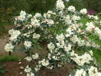 Rhododendron  'Loy' - Rhododendron