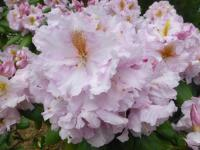 Rhododendron  'Janet Blair'  Rhododendron flowers