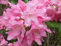 Rhododendron   'Clivia'  Rhododendron flowers