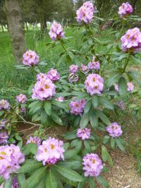 Rhododendron  'Ricarda' - Rhododendron